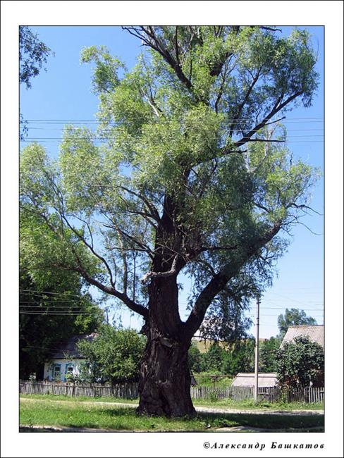 Старая ива в центре села Садовое. Фото 2006 года