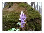 Хохлатка плотная (Corydalis solida L.)