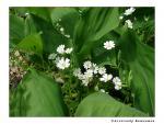 Звездчатка злаколистная (Stellaria graminea L.)